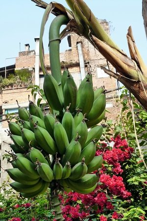 Hotel Discovery Inn: Bananas in the Garden area