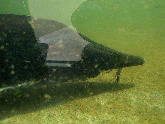 Saitama Aquarium: チョウザメも間近で見られる。