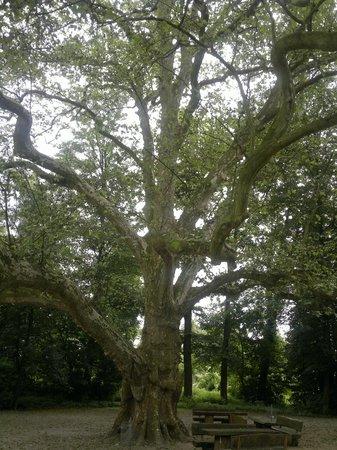 Schloss Paffendorf: Wuchtiger alter Baum