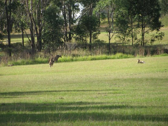 Twin Trees Country Cottages: Kangaroos hanging out