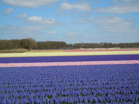 De Bollenstreek: Flower field around Noordwijk