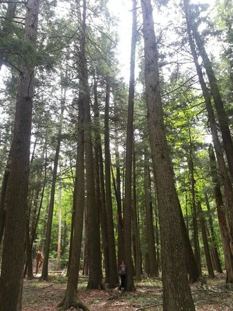 Old growth forest Hartwick Pines State Park