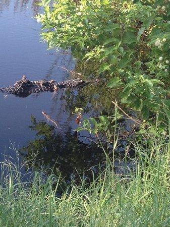 Hugh S. Branyon Backcountry Trail : Gators along the trail