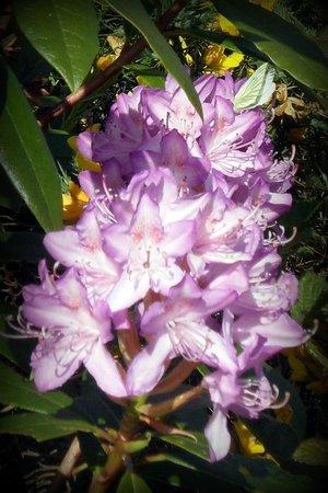 Knockmealdown Mountains: Rhododendron