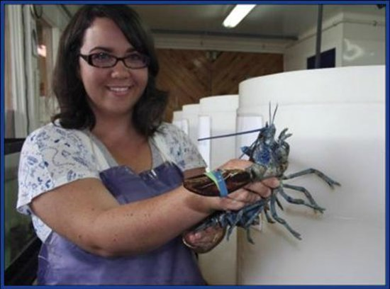 Northumberland Fisheries Museum: Blue Lobsters!