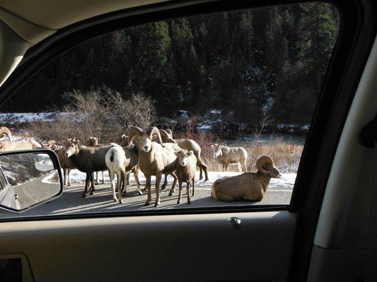 Falls Motel: Our version of a traffic jam - Big Horn Sheep style