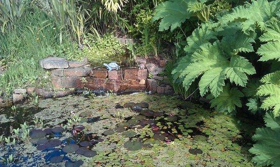 Craigievar Bed & Breakfast: Waterfall, pond and Gunnera Manicata (like Rhubarb)