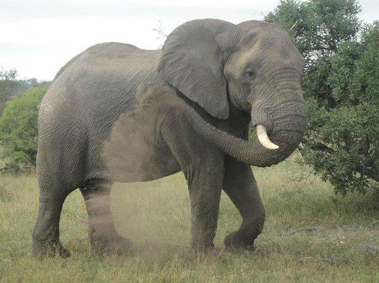 Simbambili Game Lodge : Elephant on Game Drive