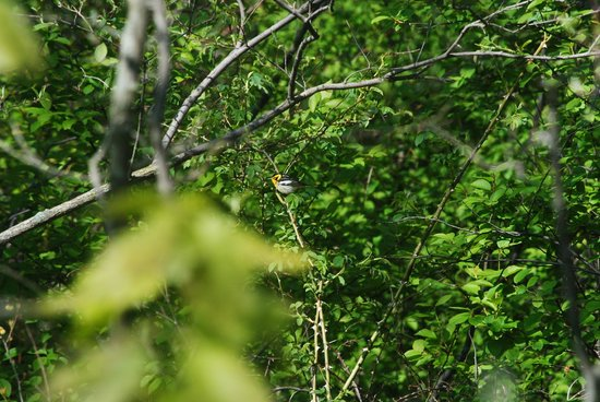 Point Pelee National Park: Blackburnian warbler (need a better zoom lens!)