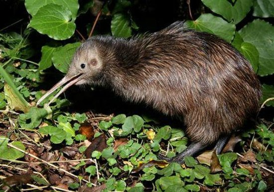 Aroha Island Ecocentre : North Island Brown Kiwi