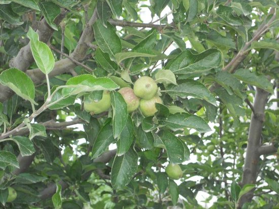 Krish Rauni: apple tree view from room