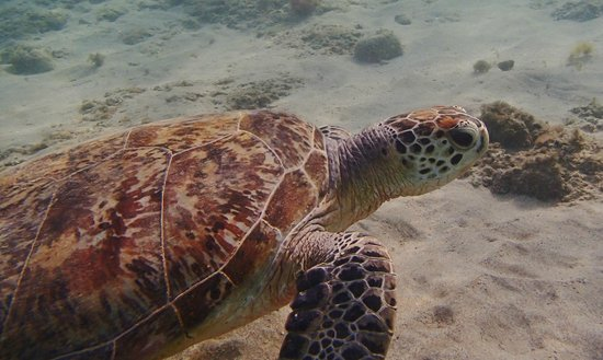 Dibba Al Fujairah, Uni Emirat Arab: Turtle