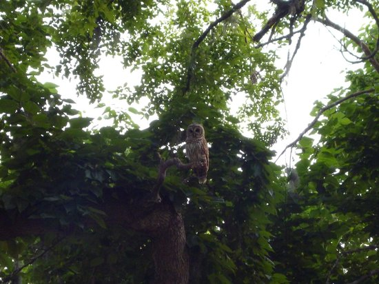Buescher State Park: Barred Owl at the camp site