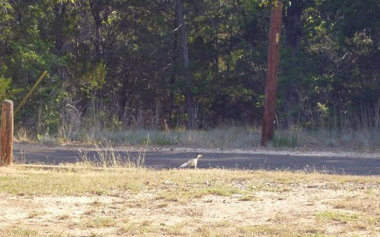 Buescher State Park: Road Runner at Morning Sun