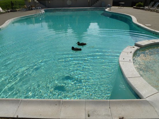 The Tiki Resort: Ducks in outdoor pool