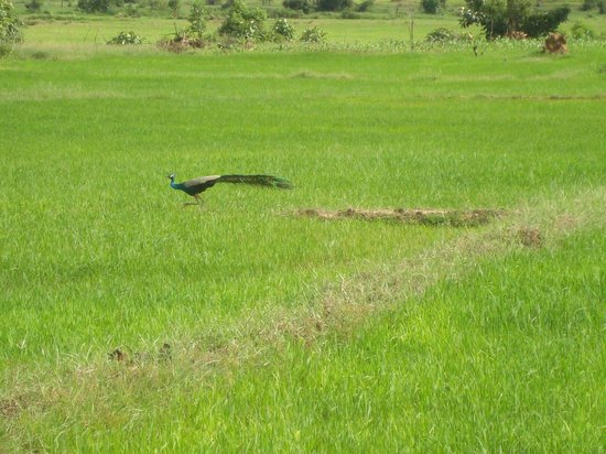 Shanthi Niwahana Kandy : Paddy fields