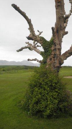Westport Golf Club: Old tree