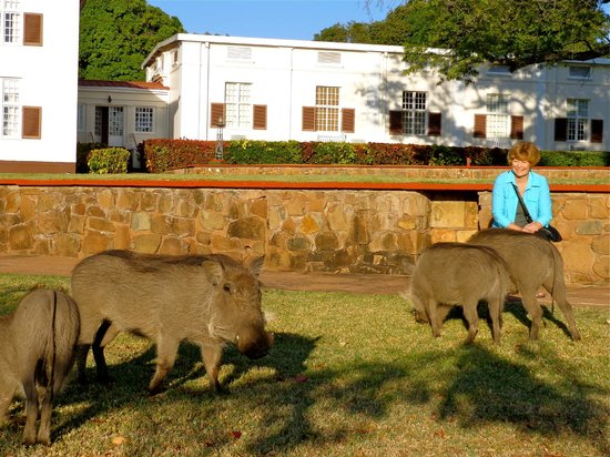 The Victoria Falls Hotel: warthogs grazing on the grounds