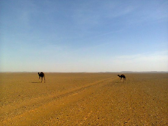 Tours Of Peace & Morocco Holidays - Day Tours: wild camels in the middle of the desert sahara in Morocco