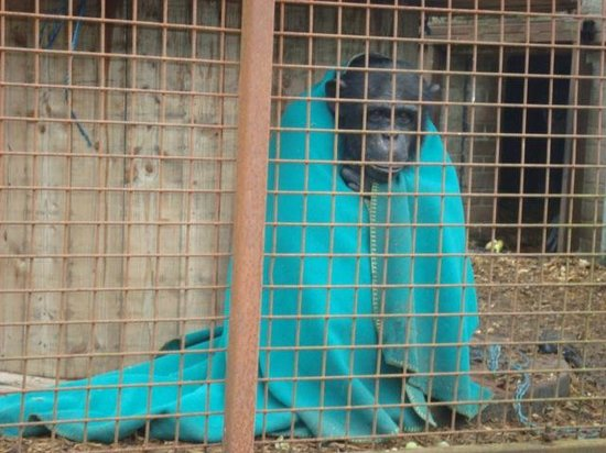 Wales Ape and Monkey Sanctuary: So Cute