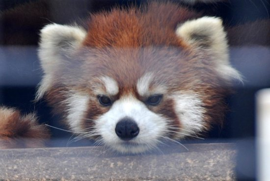 NEW Zoo & Adventure Park: Red panda