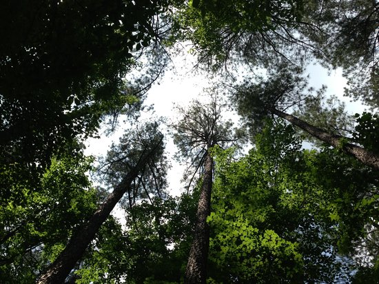 Umstead State Park: Looking up through tall trees