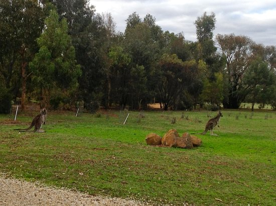 Boroka Downs: Kangaroos passing by