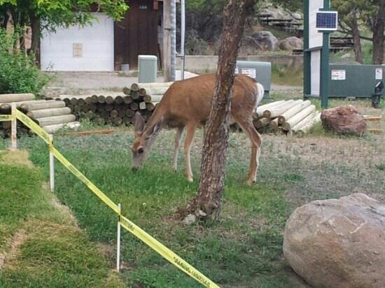 Yellowstone Gateway Inn: A deer outside our unit.