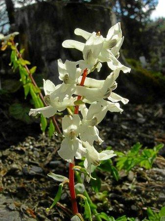 Botanischer Garten Alpinum Schatzalp: Hohler Lerchensporn, Corydalis cava