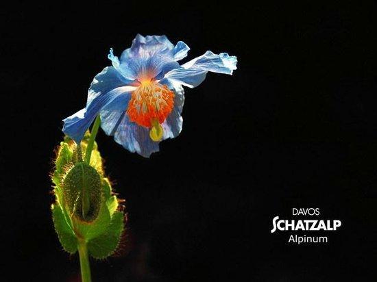 Botanischer Garten Alpinum Schatzalp: Meconopsis