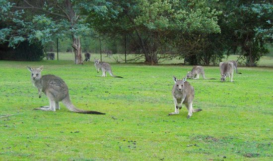 The Grampians Motel & The Views Restaurant: ' Welcome' kangaroos on the lawn.