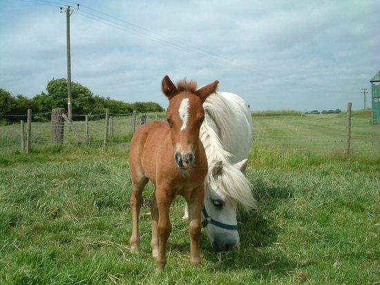 Ingoldmells, UK: Foal born at Hardys Animal Farm