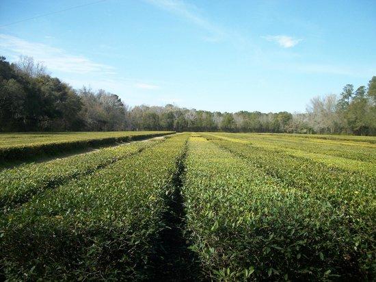 Charleston Tea Plantation: Tea plants
