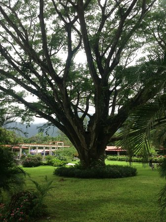 Crater Valley: One of the most majestic trees in El Valle