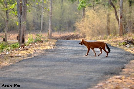 Royal Tiger Resort: A Wild Dog crosses the road following a Sambhar stag