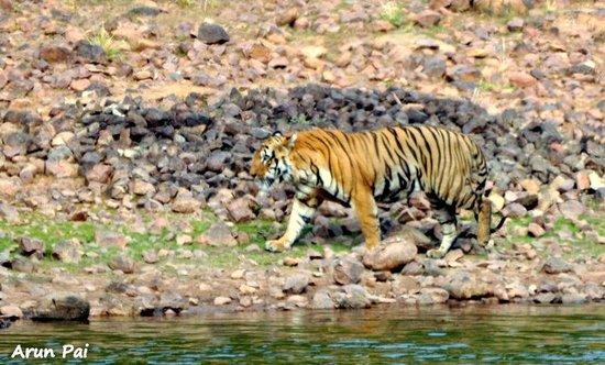 Royal Tiger Resort: The huge Waghdou male strides along Teliya Lake