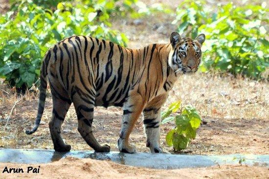 Royal Tiger Resort: A tigress cub gets out of the waterhole