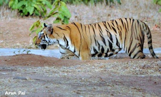 Royal Tiger Resort: A Tigress cub wades in the waterhole