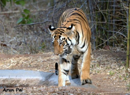 Royal Tiger Resort: Testing the waters - A tigress cub enters the waterhole