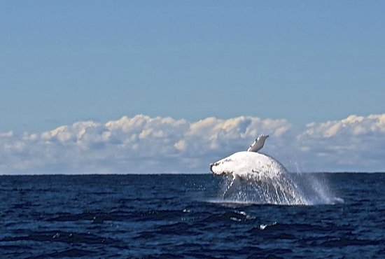 Getaway Sailing on the Gold Coast: Sequence of a Humpback whale breaching