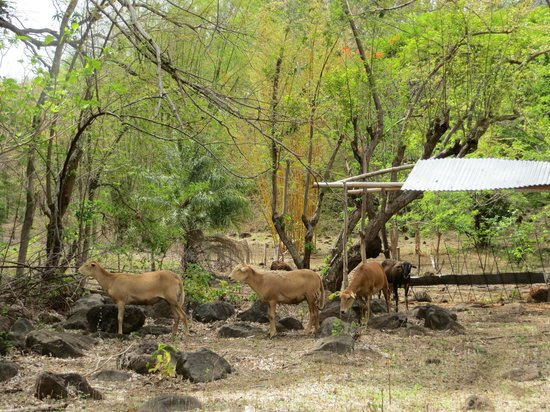 Finca del Sol: Sheep on the grounds