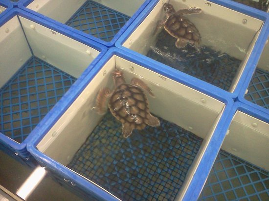 NOAA Fisheries Service Galveston Laboratory: Baby sea turtle