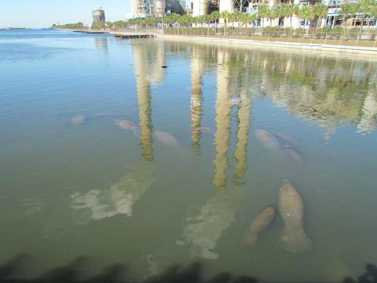Tampa Electric Manatee Viewing Center : Adult and baby manatees