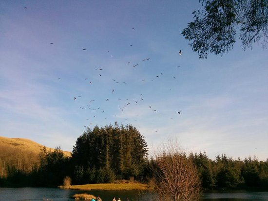 Bwlch Nant yr Arian Forest Visitor Centre: Red kite feeding time