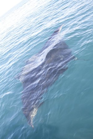 Los Tuneles: Giant manta ray in the ocean on our way ....