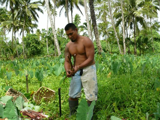 Amoa Resort: A local working in the plantation