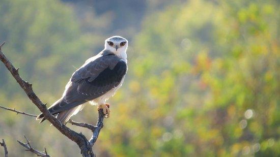Clearwater Lodges - Kudu & Tsetshepi: black shoulder kite