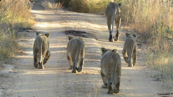 Clearwater Lodges - Kudu & Tsetshepi: pride of lions