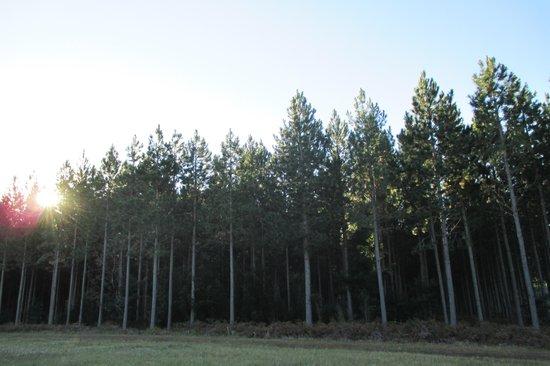 Tsitsikamma Lodge: Blick am Morgen auf den Pinienwald