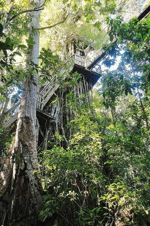 Falealupo Canopy Walk: the beautiful banyan
